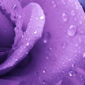 Lavender rose with water drops