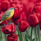 Bird on a Tulip