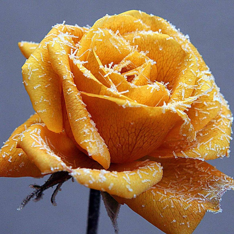 Frosted Yellow Rose
