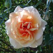 Lovely tea rose