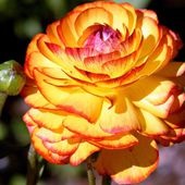 Awesome rose