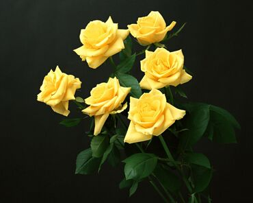 Yellow roses in the dark