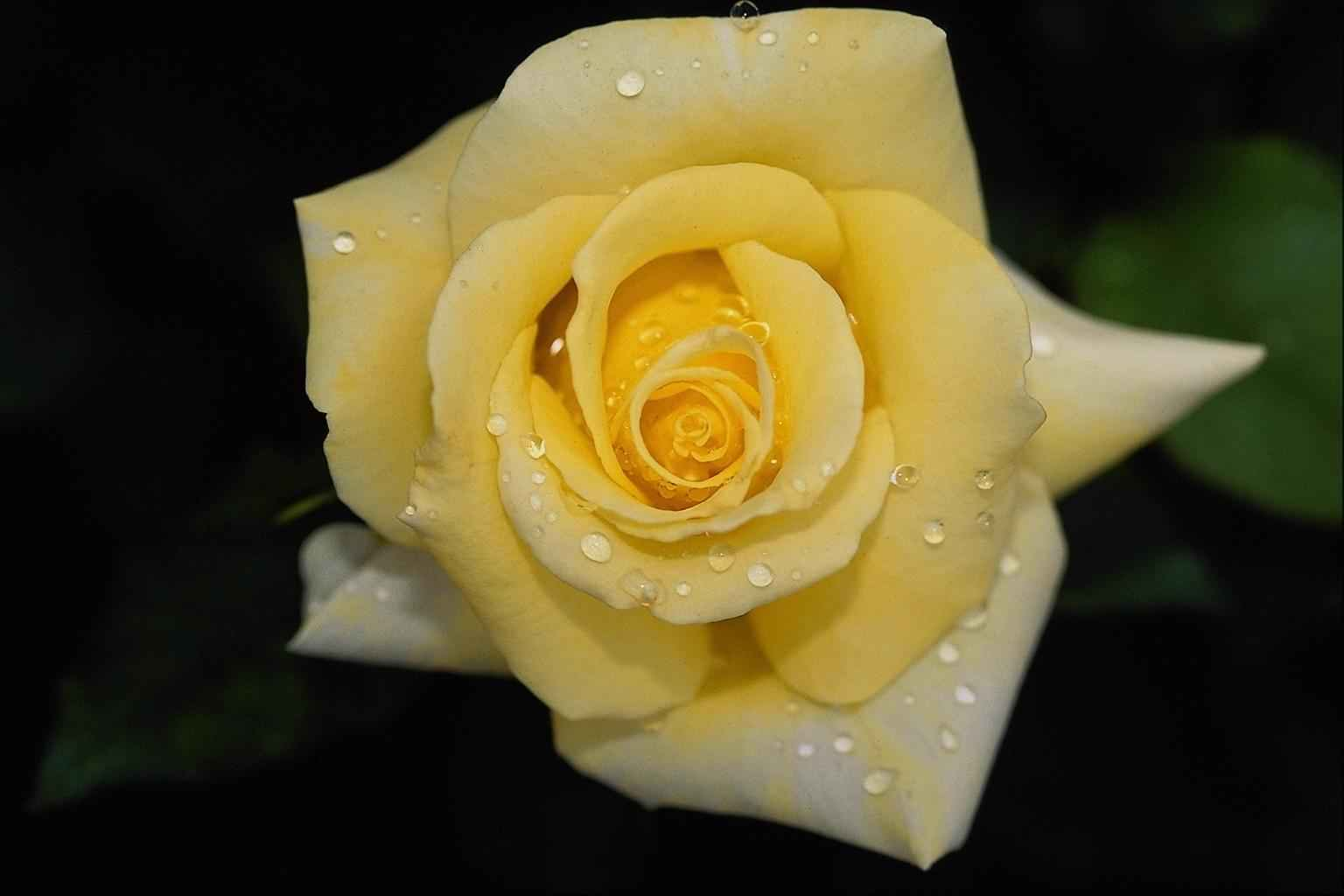 yellow roses with water drops - photo #4