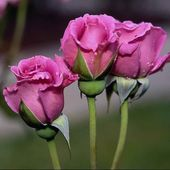 Three lavender roses