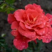 Garden rose with raindrops