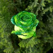 Very beautiful green rose