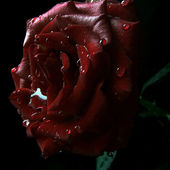 Chocolate rose with water drops