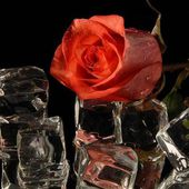 Orange rose and ice