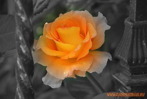 Delicate orange rose