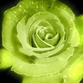 Green rose in the dark