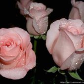 Wet pink roses in the dark