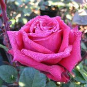 Dark pink rose with drops