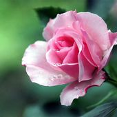 Pink rose with dew drops