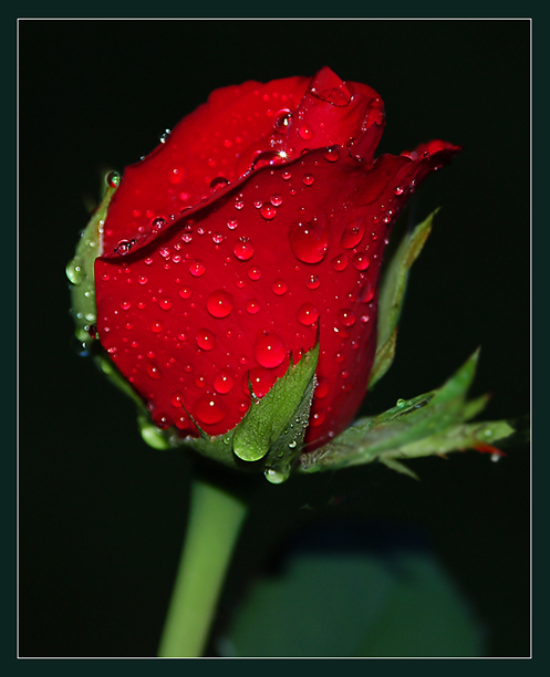 Fresh red rose with water drops