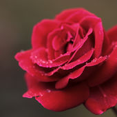 Dew on a red rose