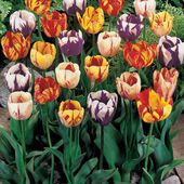 Colorful striped tulips
