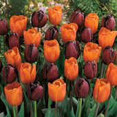 Dark red and orange tulips