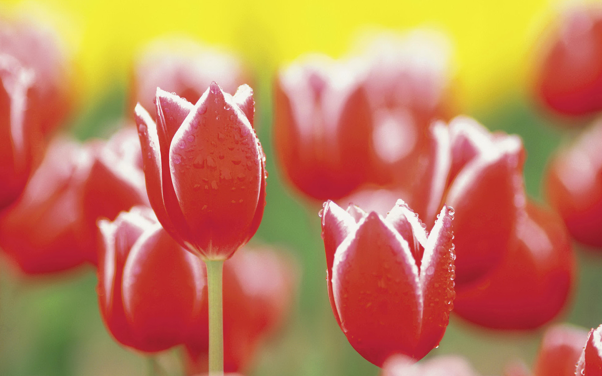 Red tulips with dew drops