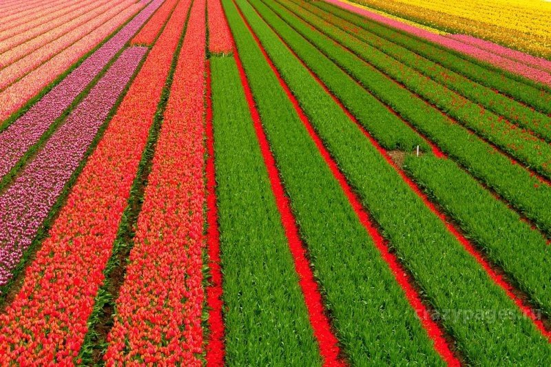 Boundless field of tulips