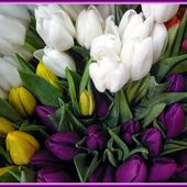 Bunch of colourful tulips