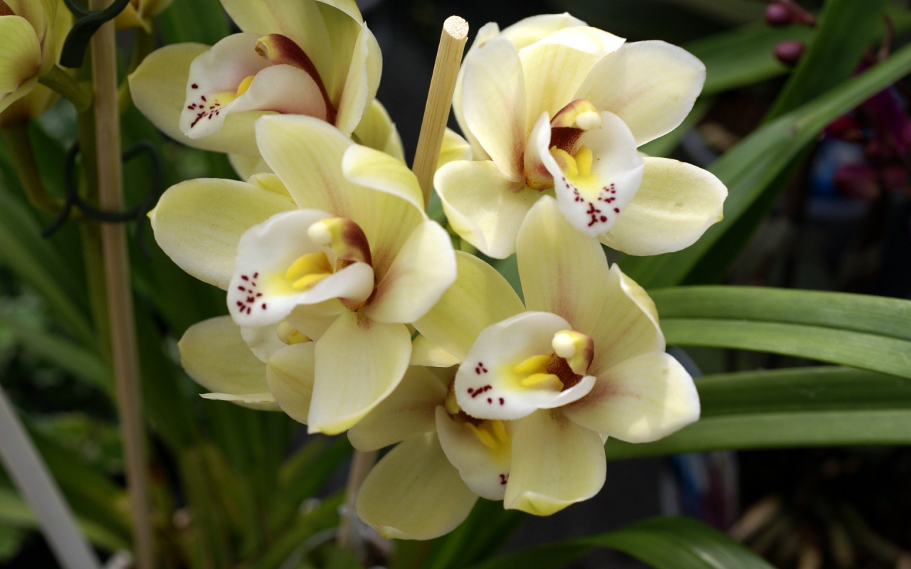Beautiful yellow orchids