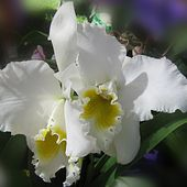 Two lovely white orchids