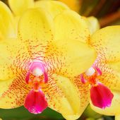 Two coloured orchids