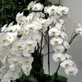 White orchid bush