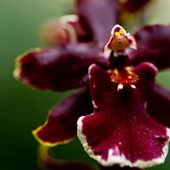Dark red orchid