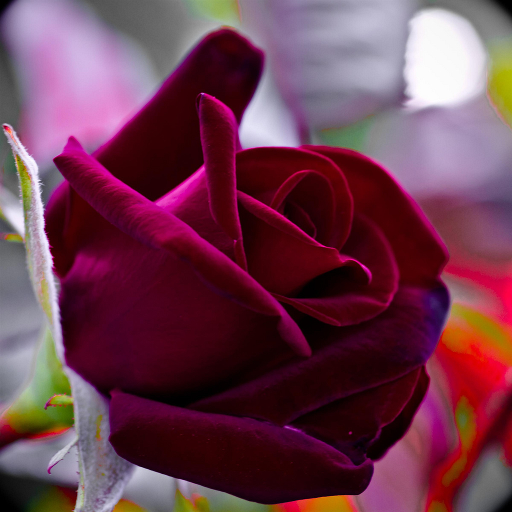 Absolutely beautiful rose