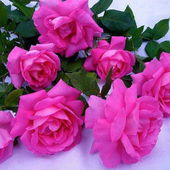 Amazing Pink Roses