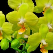 Beautiful green orchid