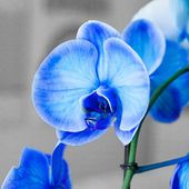 Amazing blue orchid