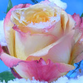 Rose and Snowflakes