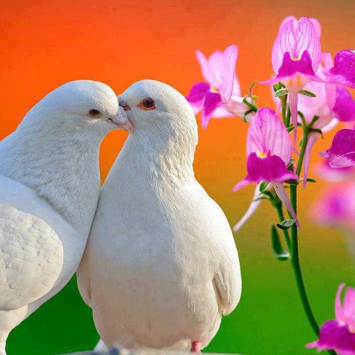 Two Loving White Doves and Butterfly Orchid