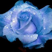 Blue rose with raindrops
