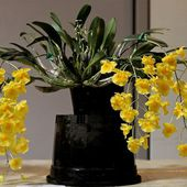 bright yellow orchids