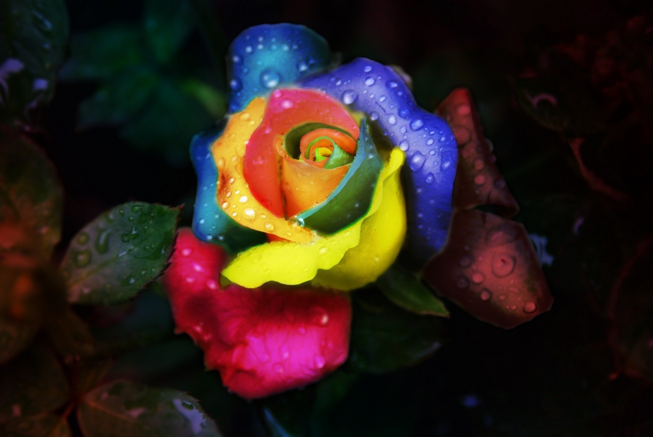 Rainbow rose with water drops