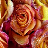 Awesome roses with water drops