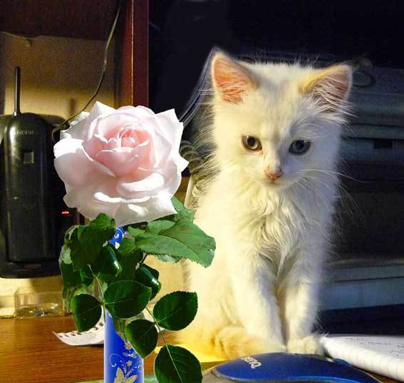 Adorable kitten and pink rose