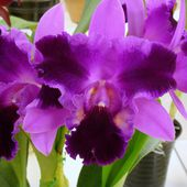 Pretty purple orchids