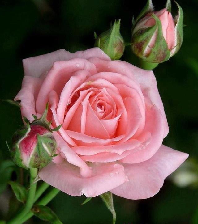 lovely pink rose. Black Bedroom Furniture Sets. Home Design Ideas