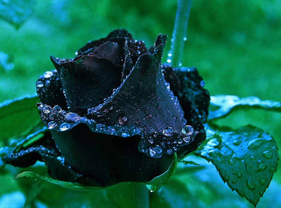 Black rose after rain