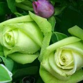 So lovely green roses