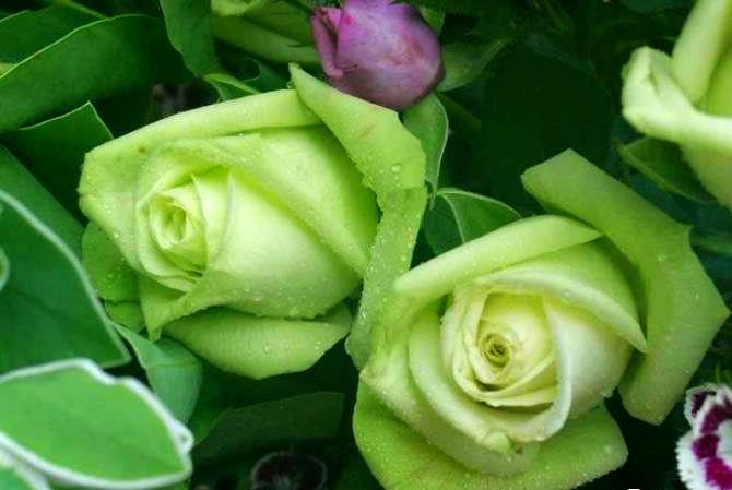 so lovely green roses. Black Bedroom Furniture Sets. Home Design Ideas