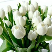Lovely pure white tulips