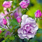 Lavender rose