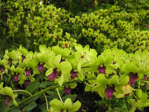 awesome looking green orchids