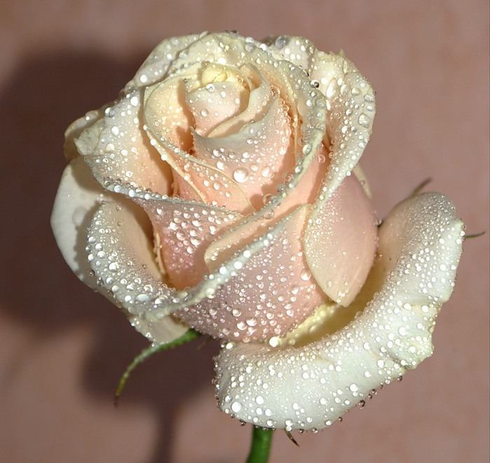 Amazing delicate rose