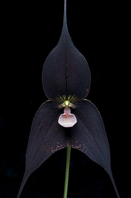 Awesome black orchid